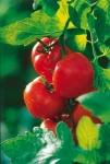 medium_tomates.jpg